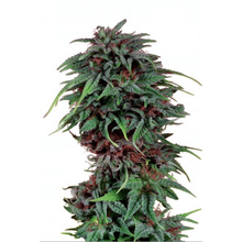 Durban Poison regular от 3300 руб. | Alfaseeds.com