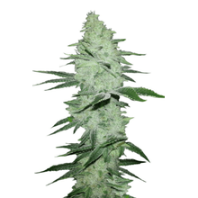 Six Shooter Auto от 2880 руб. | Alfaseeds.com