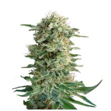 Big Dutch Bud от 1390 руб.   Alfaseeds.com