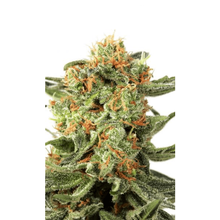 Orange Hill Special regular от 4400 руб. | Alfaseeds.com