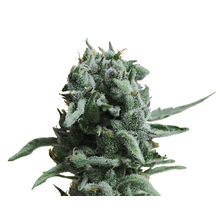 White Widow 47 от 1030 руб. | Alfaseeds.com