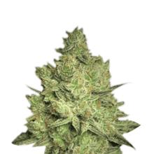 Jacky White от 2300 руб. | Alfaseeds.com