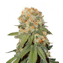 Orange Bud regular от 4030 руб. | Alfaseeds.com