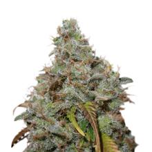 White Berry от 2300 руб. | Alfaseeds.com
