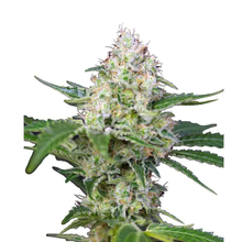 Crystal Candy от 1370 руб.   Alfaseeds.com