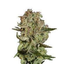 Super Bud Autoflowering от 1100 руб. | Alfaseeds.com