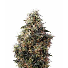 Sweet Mango Autoflowering от 1470 руб. | Alfaseeds.com