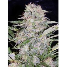 Sour Bubbly от 1010 руб. | Alfaseeds.com