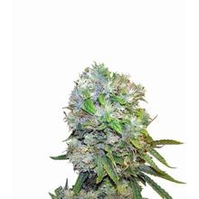 Cream 47 от 2050 руб.   Alfaseeds.com