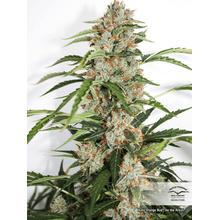 Auto Orange Bud от 2930 руб. | Alfaseeds.com