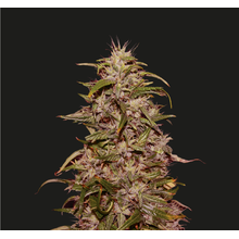 Big Altai Sativa Express от 1910 руб. | Alfaseeds.com
