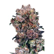 Blueberry regular от 5130 руб. | Alfaseeds.com