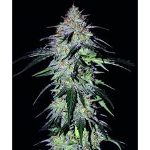 Sour Hound F2 от 2210 руб.   Alfaseeds.com