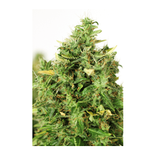 Doctor's Choice #1 от 550 руб. | Alfaseeds.com