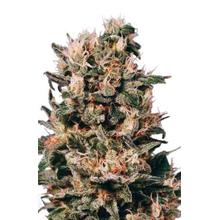 Euforia regular от 3590 руб. | Alfaseeds.com