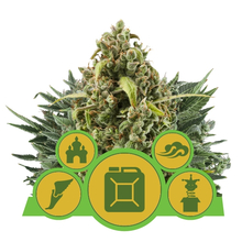Autoflowering MIX от 2340 руб. | Alfaseeds.com