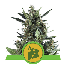 Blue Cheese Automatic от 1800 руб. | Alfaseeds.com