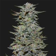 Boy Scout Cookies от 880 руб. | Alfaseeds.com
