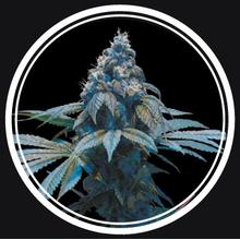 Blue Queen от 880 руб. | Alfaseeds.com
