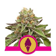 Green Gelato от 2550 руб. | Alfaseeds.com