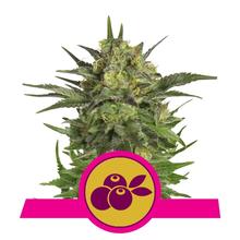 Haze Berry от 1800 руб. | Alfaseeds.com