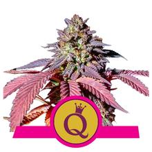 Purple Queen от 1440 руб. | Alfaseeds.com