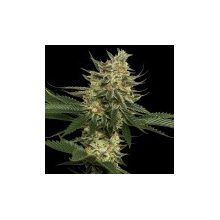 Tangie от 3300 руб. | Alfaseeds.com
