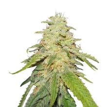 Big Bud SS Fem от 0 руб. | Alfaseeds.com