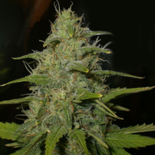 Lemon OG Haze от 1690 руб. | Alfaseeds.com