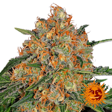 Orange Sherbert от 880 руб.   Alfaseeds.com