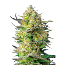 Sweet Cheese XL Auto от 1460 руб. | Alfaseeds.com