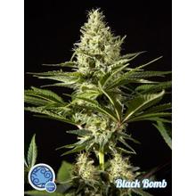 Black Bomb от 620 руб. | Alfaseeds.com