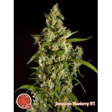 Jamaican Blueberry BX reg от 2200 руб. | Alfaseeds.com