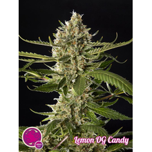 Lemon OG Candy от 590 руб. | Alfaseeds.com