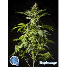 Tropimango от 590 руб. | Alfaseeds.com