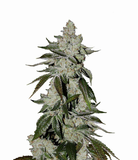 Girl Scout Cookies Auto от 2890 руб. | Alfaseeds.com